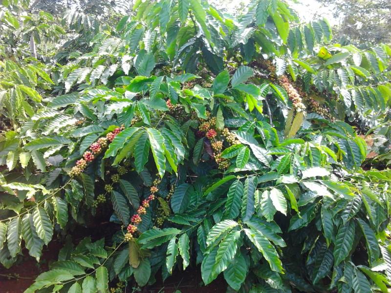 Để phát triển cà phê bền vững: Liên kết chuỗi